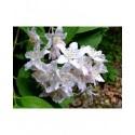 Deutzia hybrida x 'Magicien'