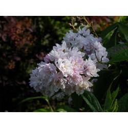 Deutzia hybrida x 'Pink Pompon'