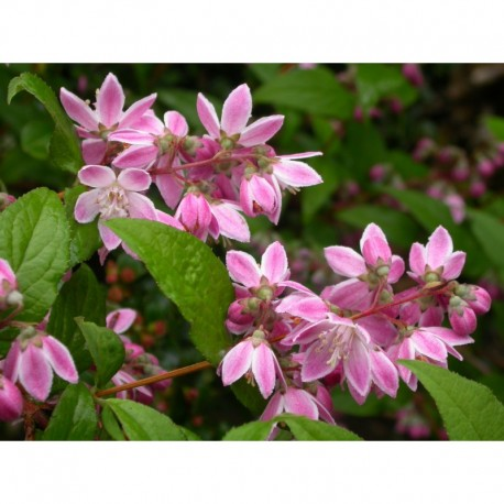 Deutzia hybrida x 'Strawberry Fields'