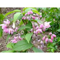 Deutzia hybrida x 'Perle Rose'