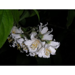 Deutzia hypoglauca