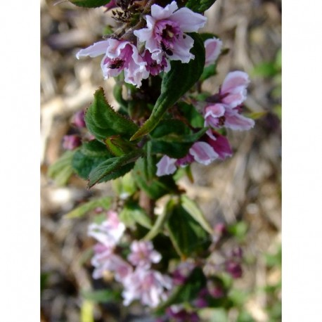 Deutzia calycosa