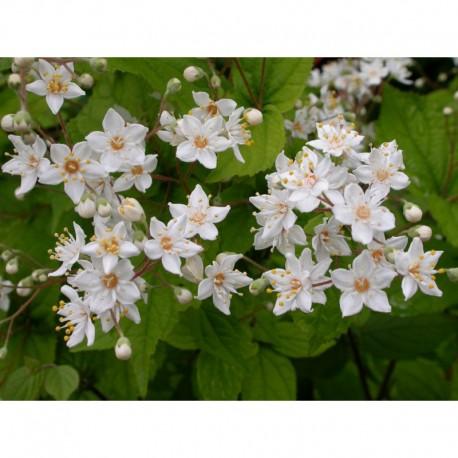 Deutzia parviflora