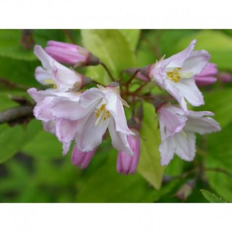 Deutzia rosea x 'Campanulata'