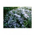 Deutzia rosea x 'Floribunda'