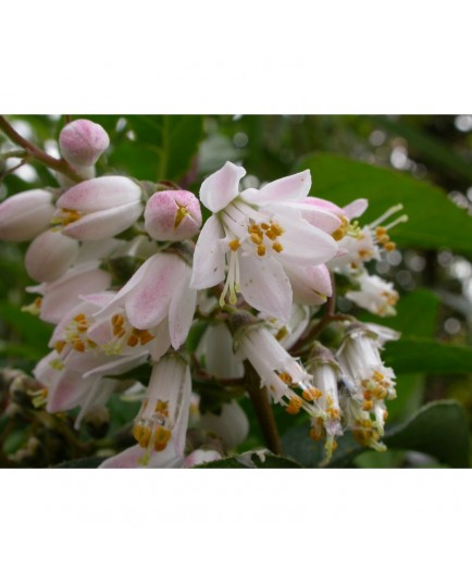 Deutzia scabra 'Watereri'