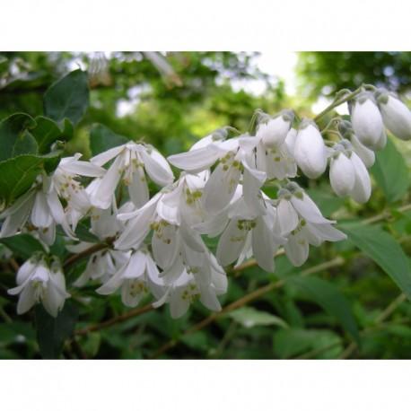 Deutzia taiwanensis