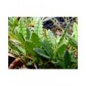 Dryas octopetala argentea - Dryade à huit pétales