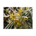 Elaeagnus angustifolia 'Quick Silver'