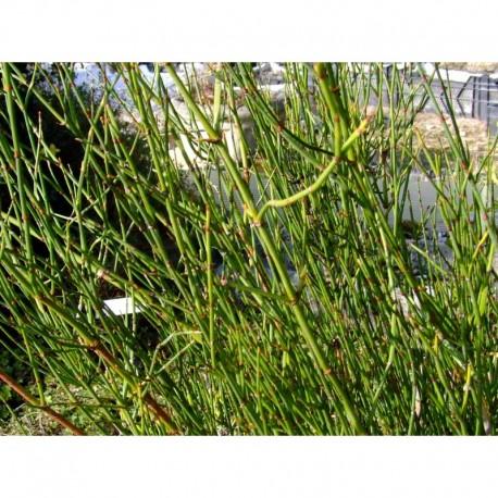 Ephedra americana subsp. andina - Ephèdre