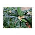 Eriobotrya japonica - Néflier du Japon