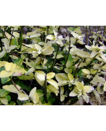 Euonymus fortunei 'Goldy'