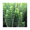 Euonymus japonicus 'Green Rocket' - fusains du Japon,