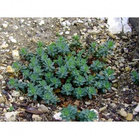 Euphorbia capitulata - Euphorbe