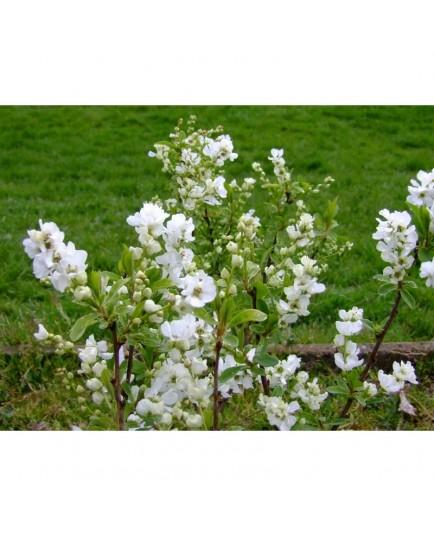 Exochorda racemosa 'Magical Springtime'