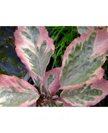 Fagus sylvatica 'Roseomarginata' - hêtre tricolore