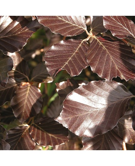 Fagus sylvatica - hêtres communs, fayards,