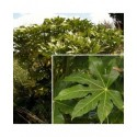 Fatsia japonica - Araliaceae - aralie du Japon, faux aralia,