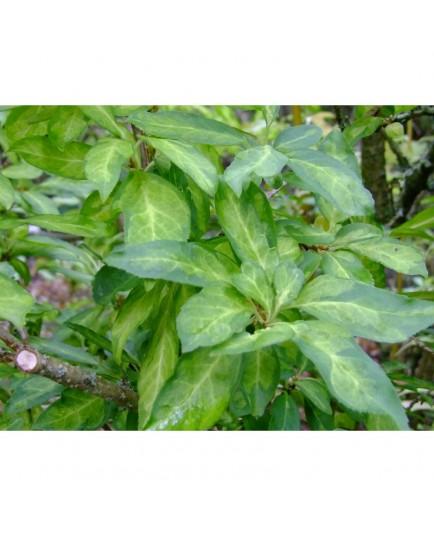 Forsythia intermedia x 'Fiesta'