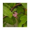 Akebia quinata- Akébie à 5 feuilles