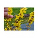 Forsythia intermedia x 'Goldrausch'