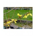 Forsythia intermedia x 'Tremonia'