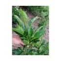 Fraxinus excelsior 'Diversifolia'- frêne à une feuille