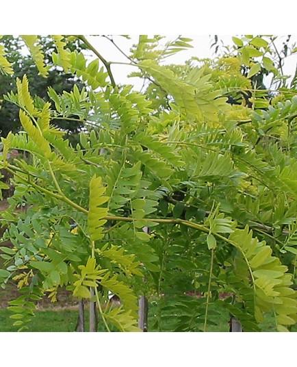 Gleditsia triacanthos 'Sunburst' - févier d'Amérique dorés, caroubes,