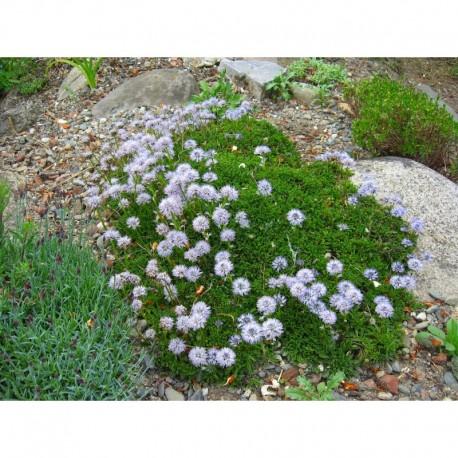 Globularia cordifolia - Globulaire à feuilles en coeœur