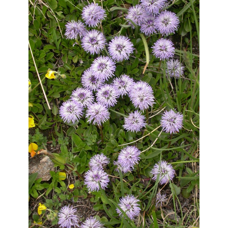 Jolie Boule Fleur-Globularia cordifolia
