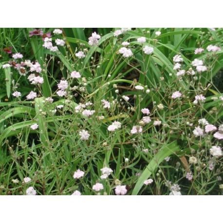 Gypsophila 'Rosenschleier' - gypsophile