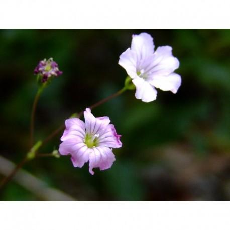 Gypsophila tenuifolia - gypsophile à petites feuilles