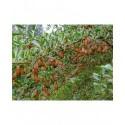 Halimodendron halodendron - Caragana argenté