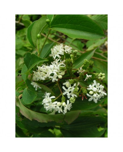 Heptacodium jasminoides