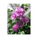 Hibiscus syriacus 'Ardens' - Althéa