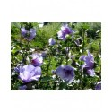 Hibiscus syriacus 'Blue Chiffon' ®- althea , ketmie