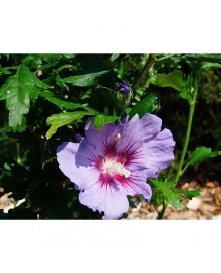 Hibiscus syriacus 'Coelestis' - althea , ketmie