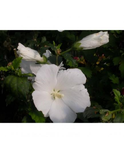 Hibiscus syriacus 'Diana' - althéa