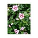 Hibiscus syriacus 'Hamabo' -altheas, ketmies
