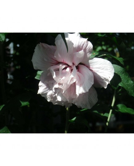 Hibiscus syriacus 'Lady Stanley' - althea , ketmie