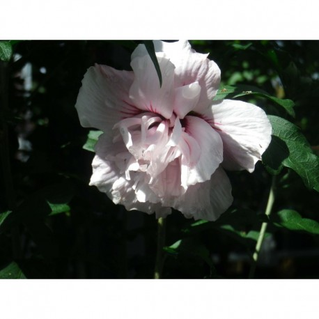 hibiscus syriacus lady stanley althea ketmie. Black Bedroom Furniture Sets. Home Design Ideas