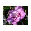 Hibiscus syriacus 'Lavender Chiffon'®- althea , ketmie