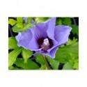 Hibiscus syriacus 'Marina' - ketmie