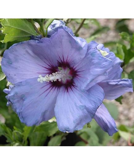 Hibiscus syriacus 'Oiseau Bleu' (Blue Bird)- altheas, ketmies