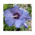 Hibiscus syriacus 'Oiseau Bleu' (Blue Bird)- altheas, ketmies