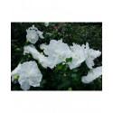 Hibiscus syriacus 'White Chiffon'® - althea , ketmie