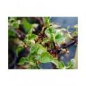 Hydrangea anomala subsp. petiolaris  'Miranda' -hortensia grimpant