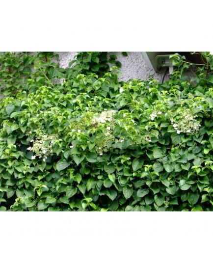 Hydrangea anomala subsp. petiolaris - hortensia grimpant