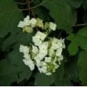 Hydrangea quercifolia 'Snow Queen'®