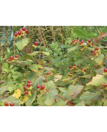 Hypericum androsaemum 'Albury Purple' - Millepertuis, Tutsan